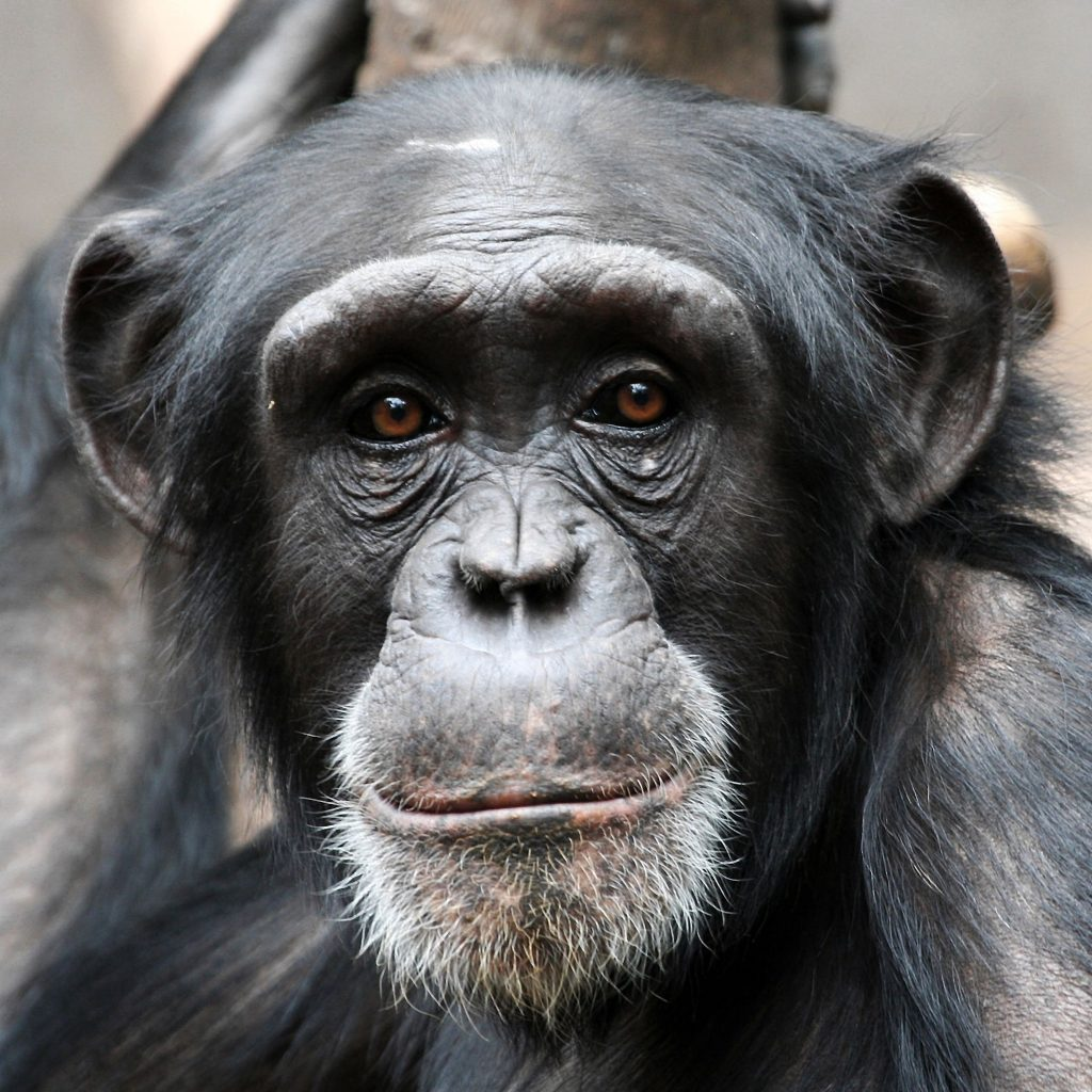 Humans arent the only great apes that can read minds